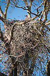 Columbia Ranch, Brazoria County, Damon, Texas; a Bald Eagle chick peering over the edge of it's massive nest, high in the branches of a tree