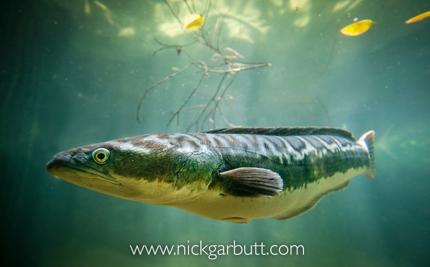 Image Gallery swamp fish