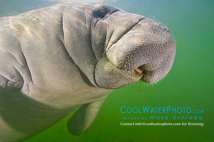 Florida manatee, showing tongue and coarse hair or wiskers, Trichechus manatus latirostris, endangered, a subspecies of the West Indian manatee, Kings Bay, Crystal River, Florida