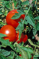 Tomato 'Siberian S45' Rediscovered Tomato  variety heirloom hardy vegetable, red ripe tomatoes growing on plant