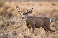 Trophy Mule deer buck during the fall rut in Wyoming