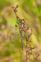 310880010 a wild male dot-winged baskettail dragonfly epitheca tetragoneuria petechialis near caddo lake in marion county texas