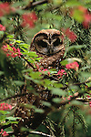 Northern spotted owl, Old-growth forest, Washington