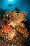 Crinoids adorn large sponges under Siladen Jetty, Bunaken National Park, Indonesia