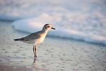 Shorebird Photos