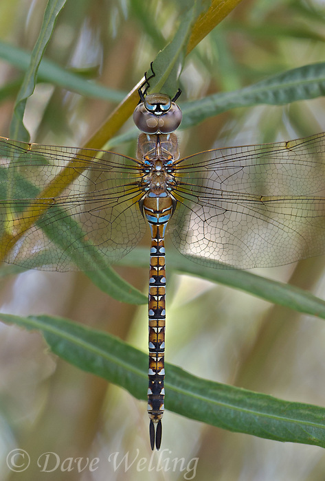 339300007 a wild andromorph female california darner rhionaeschna californica perches on  a plant stem along the jean blanc canal near bishop in inyo county california