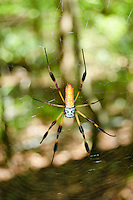 Brilliant and colorful, the large golden silk spider is a very common sight in nearly every Florida forest and woodland.