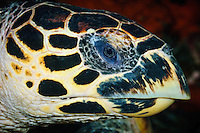 Hawksbill turtle, Maratua, Kalimantan, Indonesia.