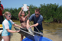 qa70871-D. marine biologist Tristan Guttridge (model released, at right) from Bimini Biological Field Station, and assistants, working in the mangroves, weighing young Lemon Shark (Negaprion brevirostris). Bahamas, Atlantic Ocean..Photo Copyright © Brandon Cole. All rights reserved worldwide.  www.brandoncole.com..This photo is NOT free. It is NOT in the public domain. This photo is a Copyrighted Work, registered with the US Copyright Office. .Rights to reproduction of photograph granted only upon payment in full of agreed upon licensing fee. Any use of this photo prior to such payment is an infringement of copyright and punishable by fines up to  $150,000 USD...Brandon Cole.MARINE PHOTOGRAPHY.http://www.brandoncole.com.email: brandoncole@msn.com.4917 N. Boeing Rd..Spokane Valley, WA  99206  USA.tel: 509-535-3489
