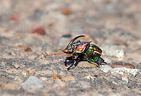 389070005 a rainbow scarab beetle species probably phanaeus difformis sits in a roadway in caddo lake national wildlife refuge in marion county texas