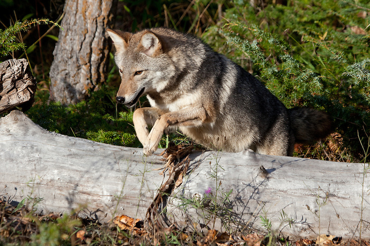 Coyote jumping over a log - CA