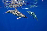 Long-snouted Spinner Dolphins, Stenella longirostris, off Kona Coast, Big Island, Hawaii, Pacific Ocean.