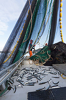 Crew purse seine fishing for Herring during the 2016 Sitka sac roe Herring fishery, near Sitka, Alaska.