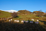 Mountain sheep on the road to Bunglass, Slieve League, Donegal, Ireland