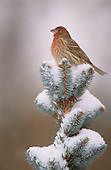 Male House Finch atop snow covered Blue Spruce.