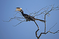 Malabar Pied Hornbill, (Anthracoceros coronatos)Yala National Park, Sri Lanka,