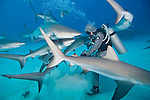 Grand Bahama Island, The Bahamas; Cristina Zenato, in a chain mail shark suit, hand feeding Caribbean Reef Sharks
