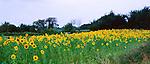 Sunflowers, Suffolk
