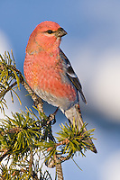 Pine Grosbeak perched on a branch