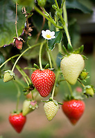 Strawberries growing, some ripe and some unripe, on a bush in Gloucestershire, England, United Kingdom