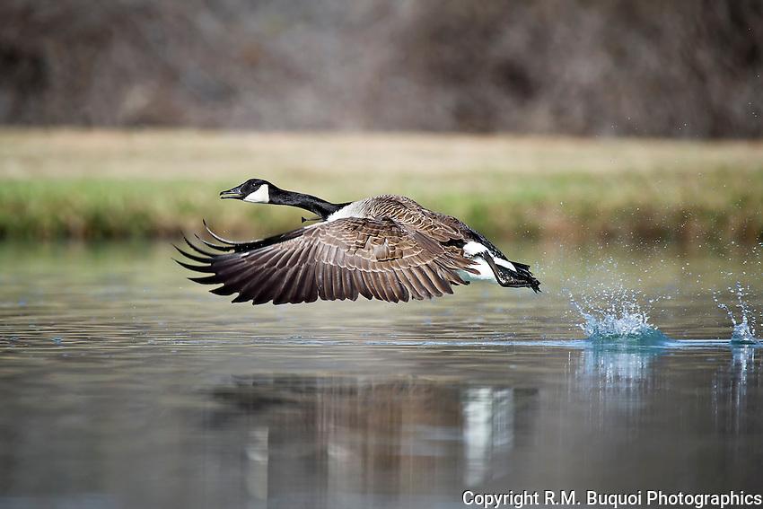 R2-2013-025-Canada-Goose.jpg
