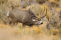 Mule deer buck in Wyoming during the autumn rut