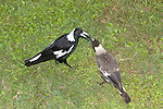 A male Australian Magpie feeds a morsel of food to a first-year juvenile bird.  //  Australian Magpie - Artamidae (=Cracticidae): Cracticus (=Gymnorhina) tibicen - length to 44cm; wingspan to 85cm; weight to 350g. Feeds mostly on the ground - insects, worms, small vertebrates, and frequently seen listening for subterranean noise from insect larvae that it digs up.  A sociable widespread species usually found in groups throughout most of Australia except for the heavily forested areas and the far northern coastal areas. A number of regional subspecies were previously classified as full species. May be aggressive during breeding season, especially if provoked by stone or stick throwing, and will swoop and dive at the transgressor to sometimes spear them with the sharp beak. Adult males are clear black and white, whereas females have varying degrees of grey feathering according to subspecies - this male is the White-backed subspecies of eastern Australia.  Adult eyes are bright brown, juveniles are duller.  Juveniles are mottled brown or grey where adults have black plumage. Has a very pleasant carolling song, as well as sharp alarm calls. Also found in the trans-Fly River area of New Guinea.    //Eric Lindgren//
