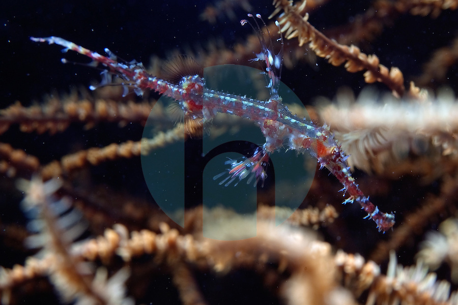 October 16th 2011_ DILI, TIMOR-LESTE_ A juvenile Harlequin ghost pipefish tries to stay hidden at a dive site known as Tasi Tolu, which is just west of the Timorese capital city of Dili.  Photographer: Daniel J. Groshong/The Hummingfish Foundation