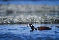 Harlequin duck drake, Brooks river, Katmai National Park, Alaska