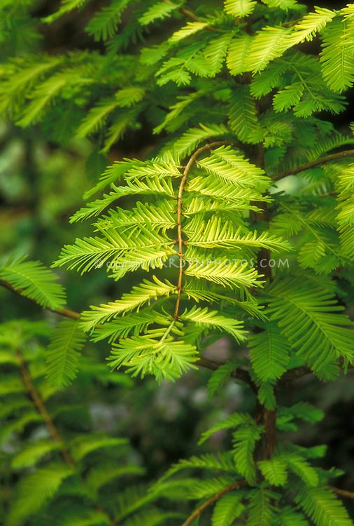 Metasequoia glyptostroboides 'Gold Rush' Dawn Redwood tree aka Ogon