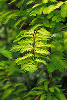 Metasequoia glyptostroboides 'Gold Rush' Dawn Redwood tree