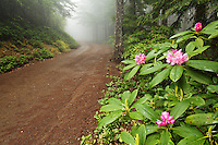 Pacific rhododendron blooming beside road atop Mount Walker, Quilcene, Jefferson County, Washington, USA