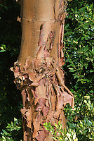 Acer griseum (AGM) tree bark with peeling all round year interest