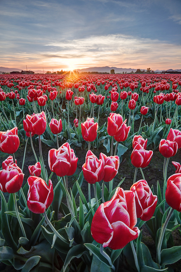 Rows of red and white tulips, Mount Vernon, Skagit Valley, Skagit County, Washington, USA