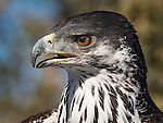 African Hawk Eagle ©2017 James D Peterson.  This beautiful bird resides at a private shelter called Arizona's Raptor Experience in Chino Valley, Arizona.  This worthy facility cares for creatures that are unable to live in the wild.