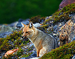 A grey fox in the rain near Lago Torre in The northern Galcier National Park of Argentina.