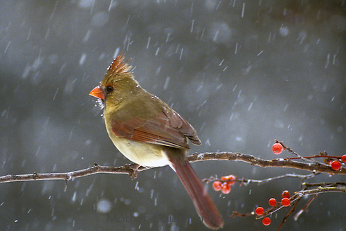 Female northern cardinal, Cardinal Cardinalis, perched on branch of holly berries in falling snow