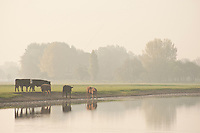 English Thames landscape with cows, Port Meadow, Oxford.