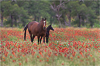 A Horse and colt enjoy the afternoon on a spring afternoon i the Texas Hill Country. I was driving down a dirt road in search of wildflowers outside Mason, Texas, when I passed by this horse. I had to turn around and capture this horse photo - the pair in a field of wildflowers.