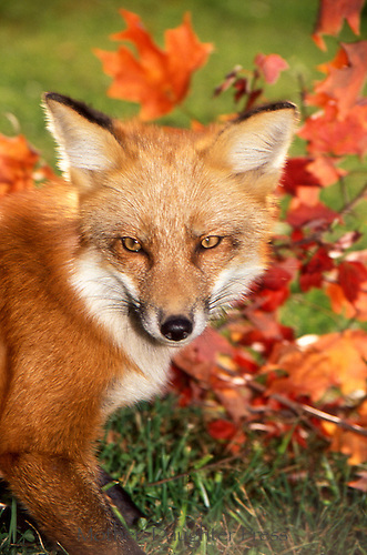 Redfox with fall leaves