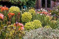Cottage garden with yellow foliaged  Euphorbia wulfenii and Rose 'The Edwardian Lady' (left).