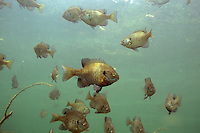 School of Bluegill<br />