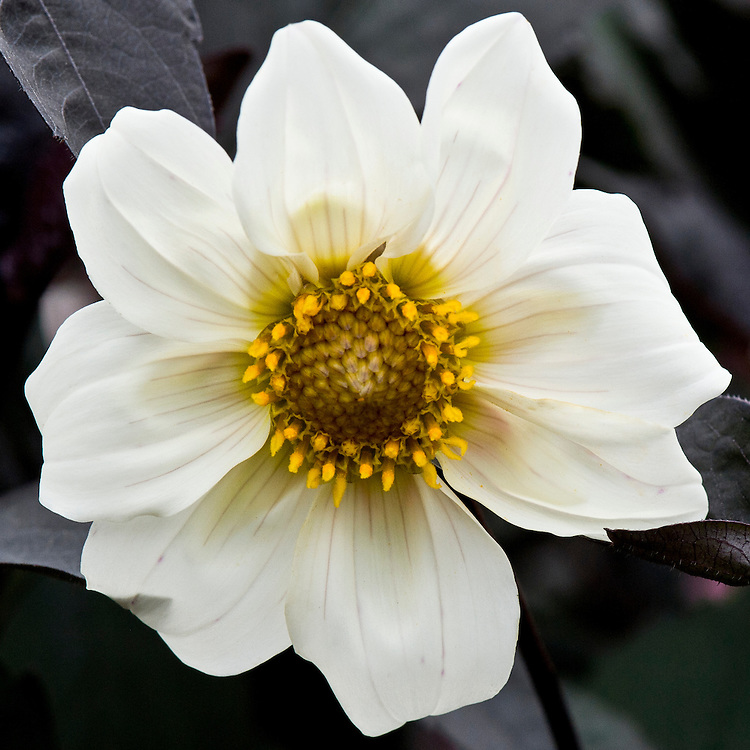 Dahlia 'Twyning's After Eight', early September.
