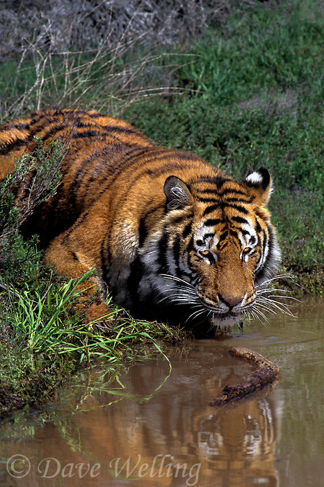 683999328 a captive adult bengal tiger panthera tigris sits by a pond about to take a drink species is endangered and this tiger is a wildlife rescue