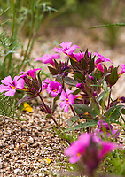 Mimulus bigelovii var. bigelovii, Bigelow's monkeyflower, flowering wildflower, California native plant Anza Borrego State Park