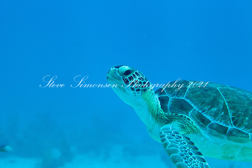 Green Sea Turtle<br /> Chelonia mydas<br /> U.S. Virgin Islands
