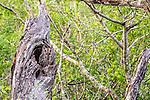 Eastern screech-owl (Otus asio), Texas , Starr County