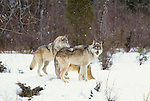 Grey wolves, Montana