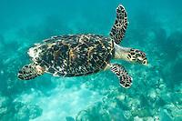 Hawksbill turtle<br /> Leinster Bay, St John.Virgin Islands National Park