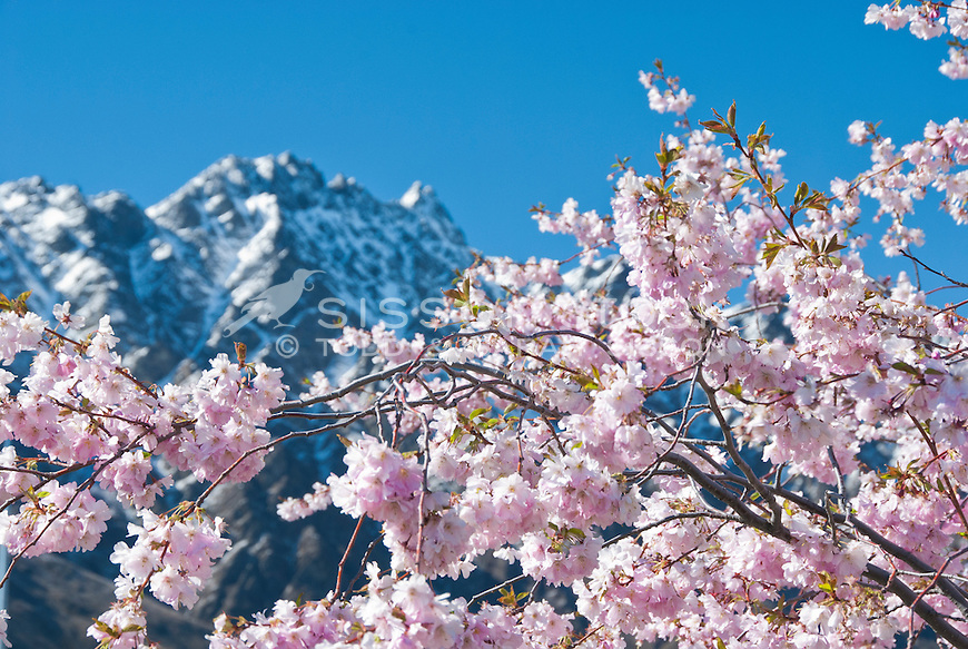 Pink spring blossoms with snow capped  Remarkables mountains behind, Central Otago, South Island, New Zealand